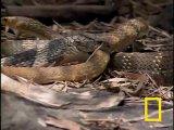 Кобра против змеи